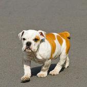 Marche bulldog — Photo