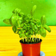Basil plant — Stock Photo