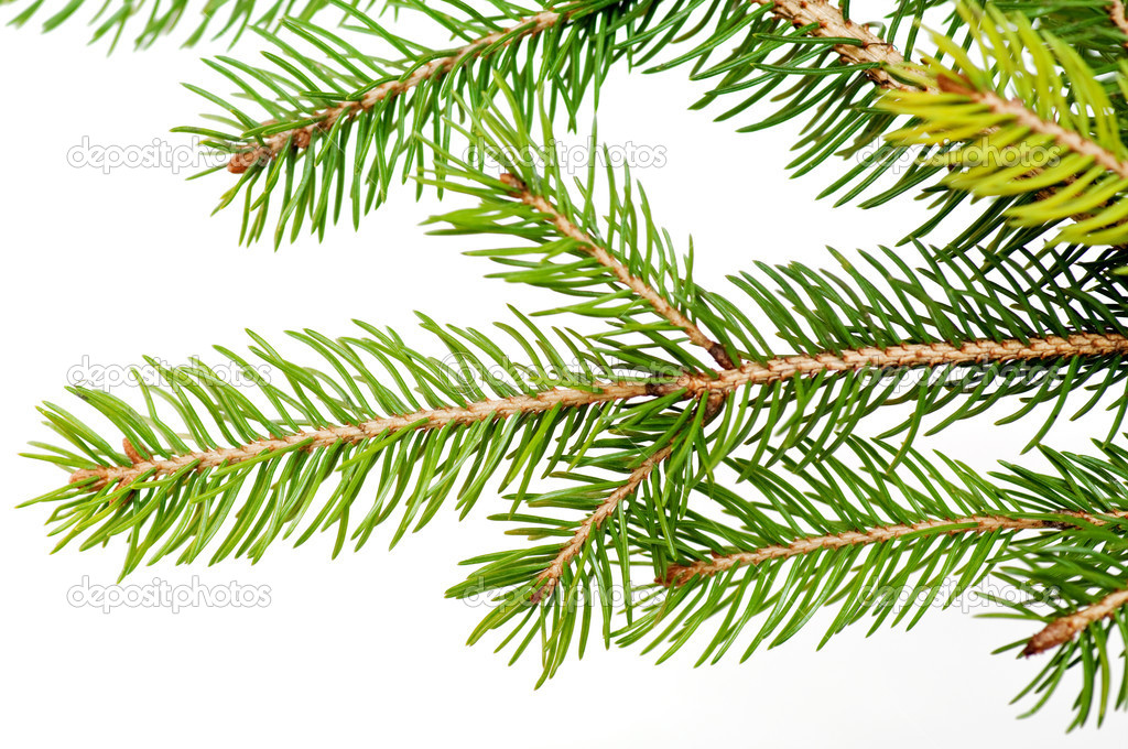 Branch of the Christmas tree over the white background — Stock Photo #4322125