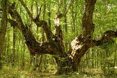 Giant oak — Stock Photo