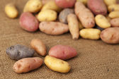 Fingerling potato variety — Stock Photo