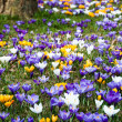 Crocus In Grass — Stock Photo #5205488