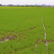 Rice field — Stock Photo #4794376