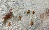Ducks — Stockfoto