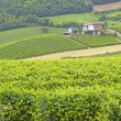 Vineyard — Stock Photo #5105651