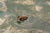Little duck — Stock Photo