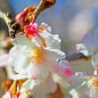 Peach flower - Stock Photo