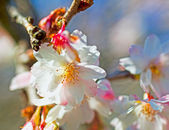 Peach flower — Stock Photo