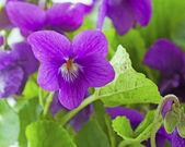 Violet — Photo