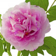 Stock Photo: Camellia