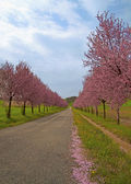Peach trees — Stock Photo
