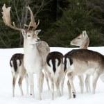 Fallow deer family — Stock Photo #5186344