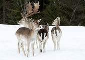 Deer in the snow — Stock Photo