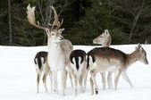 Fallow deer family — Stock Photo