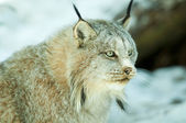 Lynx v zimě — Stock fotografie