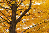 Old maple tree with yellow leaves, autumn — Stock Photo