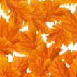 Stock Photo: Orange maple leaves collage