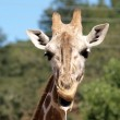 Постер, плакат: Outdoor Portrait of Giraffe drooling and chewing