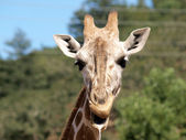 Outdoor Portrait of Giraffe drooling and chewing — Stock Photo