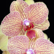 Yellow and red orchid flowers on black background — Stock Photo
