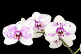 Three white and purple orchid flowers on black — Stock Photo