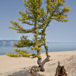 Royalty-Free Stock Photo: Larch tree and roots on sand, coast of Baikal lake. Olkhon.