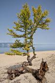 Alerce y raíces en la arena, costa del lago baikal. olkhon. — Foto de Stock
