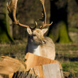 Deer in the Woodland - Stock Photo
