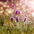 "Spring flowers - ""Pulsatilla"" — Stock Photo"