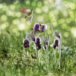 "Spring flowers - ""Pulsatilla"" — Stock Photo #5352180"