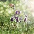 "Spring flowers - ""Pulsatilla"" — Stock Photo #5352185"
