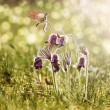 "Spring flowers - ""Pulsatilla"" — Stock Photo #5352186"