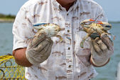 Fisherman showing a male and female blue crab ( Callinectes sapidus). — Stock Photo