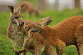 Two kangaroos sharing a clover together. — Stock Photo