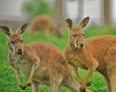 Two alert kangaroos standing on hind legs. — Stock Photo
