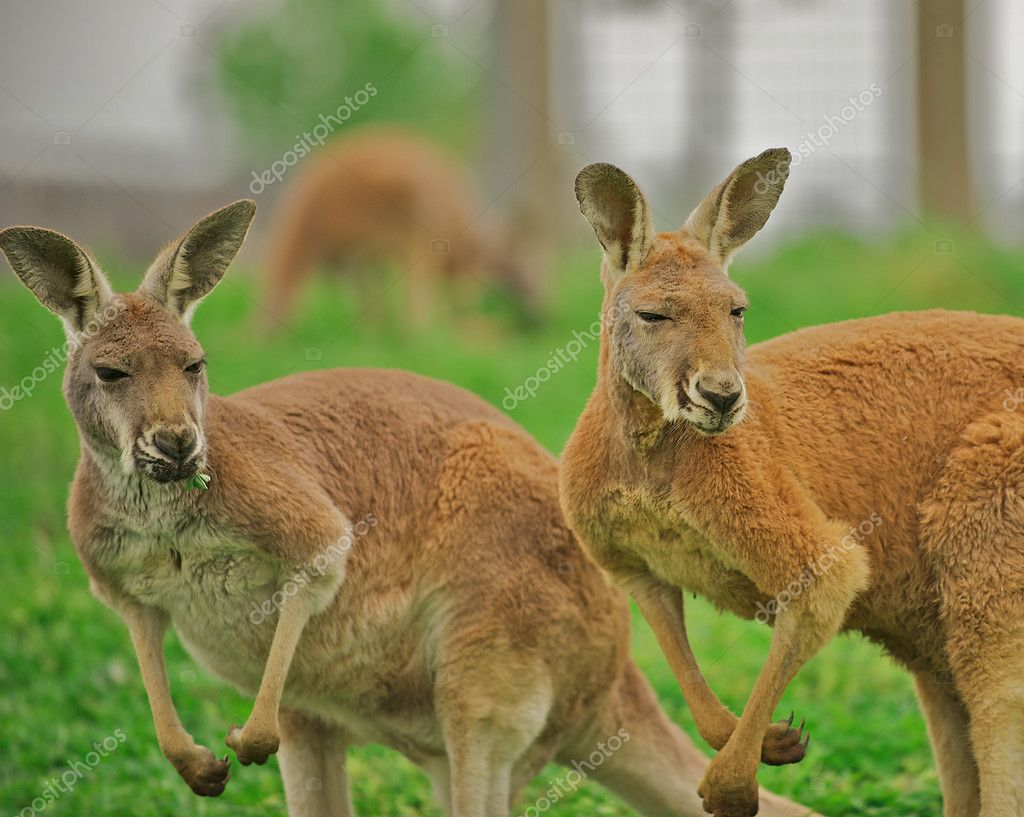 Two alert kangaroos (Macropus rufus) standing on hind legs.   — Stock Photo #3931519