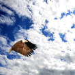 Stock Photo: Bald Eagle flying in a beautiful blue sky.