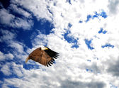 Bald Eagle flying in a beautiful blue sky. — Stock Photo