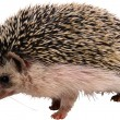 Hedgehog — Stock Photo #4222052