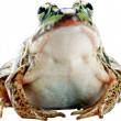 Toad — Stock Photo #4222607