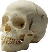 Cráneo — Foto de Stock