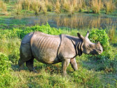 Indian one horned rhinoceros at Royal Chitwan national park in Nepal — Stock Photo