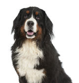 Berner sennen dog — Stock Photo