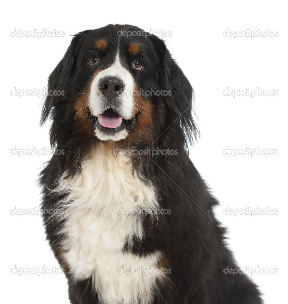 Berner sennen dog — Stock Photo © andreasgradin #4058722