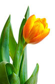 Colorful fresh tulip — Stock Photo