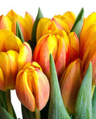 Colorful fresh tulips — Stock Photo