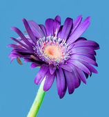 Colorful germini flower — Stock Photo