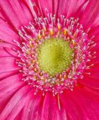 Renkli germini çiçek — Stok fotoğraf