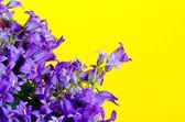 Blue bellflowers — Stock Photo