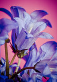 Bellflowers bleus — Photo